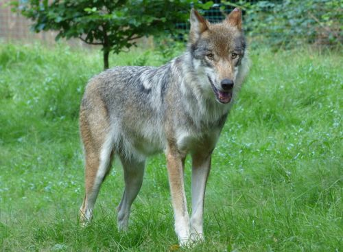 wolf predator lupus