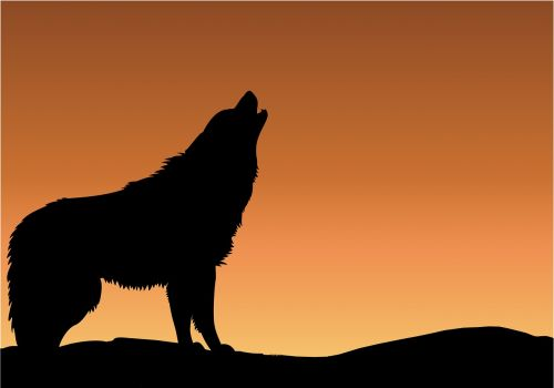 wolf howling sunset
