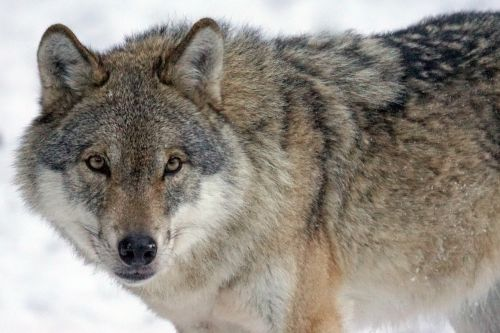 wolf predator carnivores