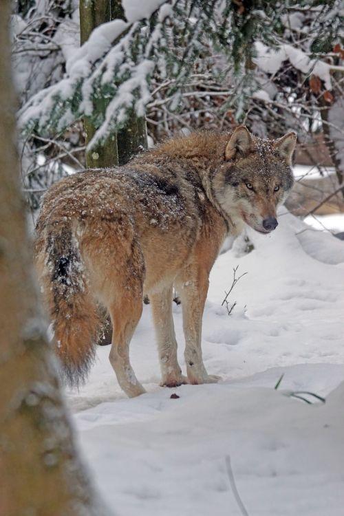 wolf eurasisch predator