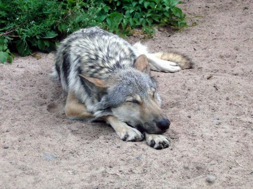 wolf gray wolf canis lupus