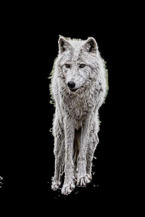 wolf photo manipulation white