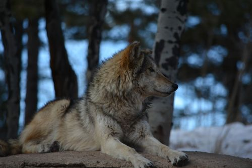 wolf outside white