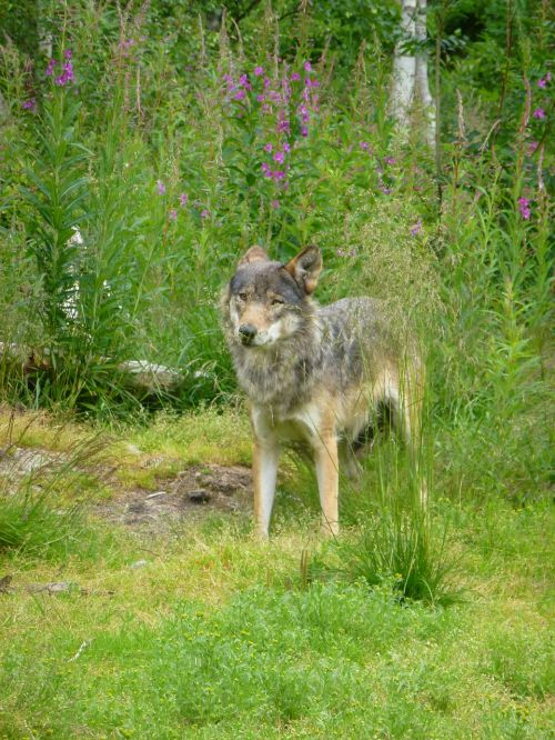 wolf predators the nature of the