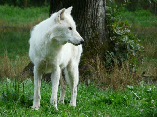 wolf white carnivore