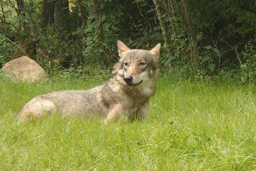 wolf nature animal