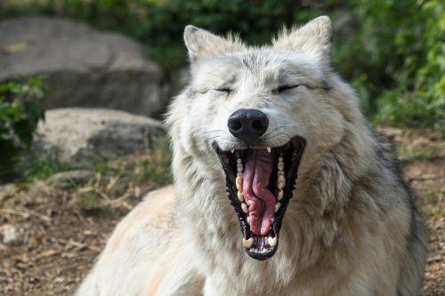 wolf yawn hangover
