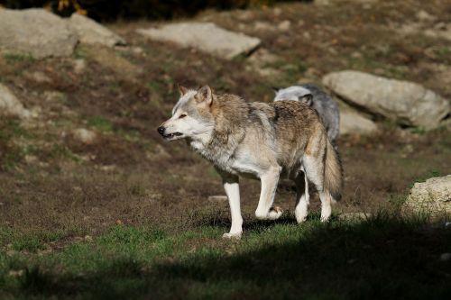 wolf timberwolf canada