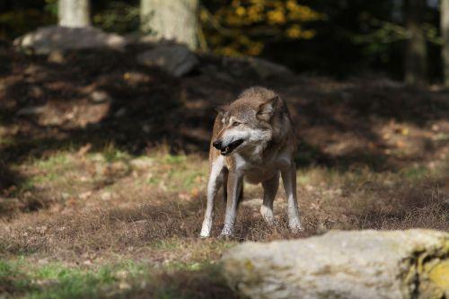 wolf timberwolf predator