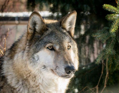 wolf living nature carnivorous