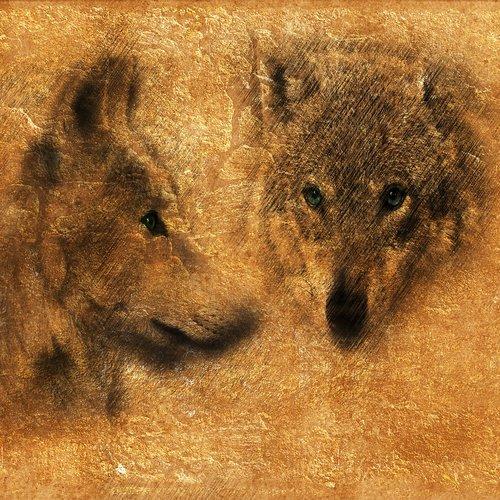 wolf  carnivores  predator