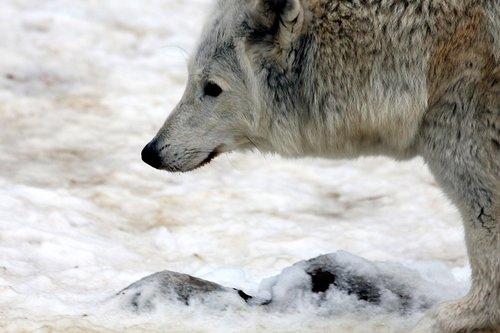 wolf  white wolf  polar wolf