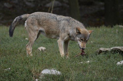 wolf  pack  predator