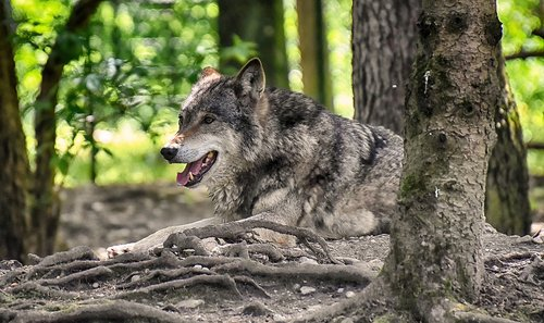 wolf  wild animal  beautiful