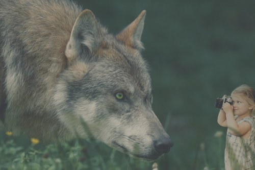 wolf  child  photography