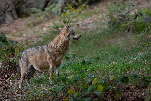 wolf  forest  animal