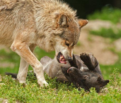 wolf predator prey