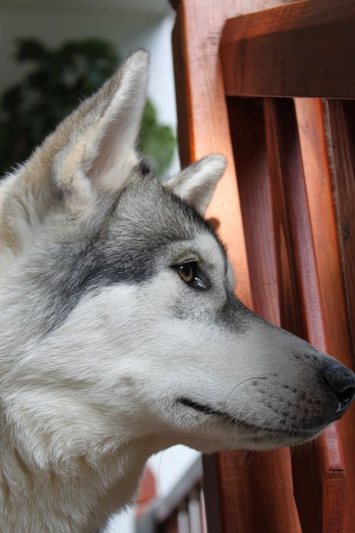 wolf husky animal