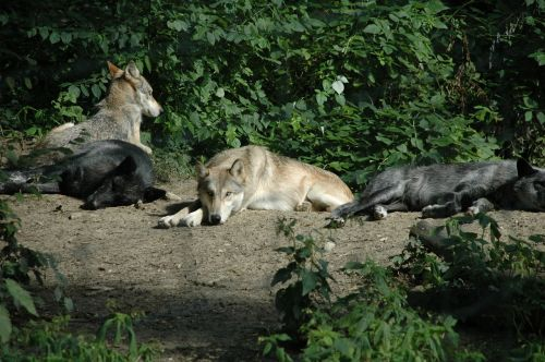 wolf animal captivity