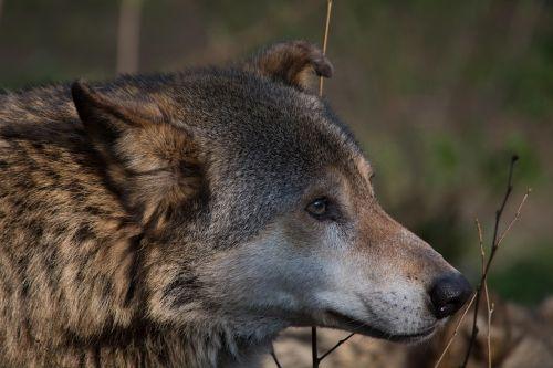 vilkas,gyvūnas,canis lupus,plėšrūnas,gamta,medžiotojas,gyvūnų pasaulis,žinduolis,zoologijos sodas,miškas,šunys,mėsėdžiai,laukinis gyvūnas,gaubtas,laukiniai,pūkuotas,laukinės gamtos fotografija