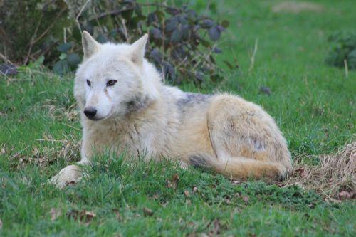 wolf sitting woods