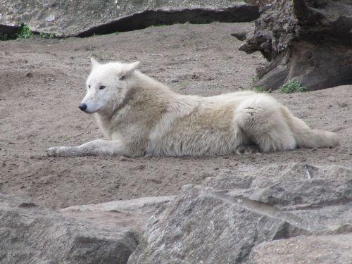 wolf white predator