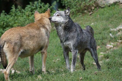 wolf tense order of precedence
