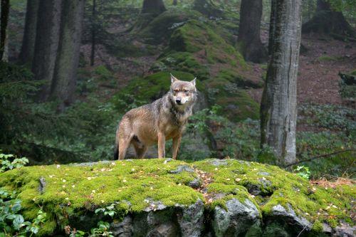 wolf pack leader animal