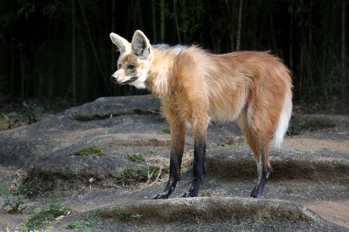 wolf guara wild zoo