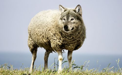 wolf in sheep's clothing wolf sheep