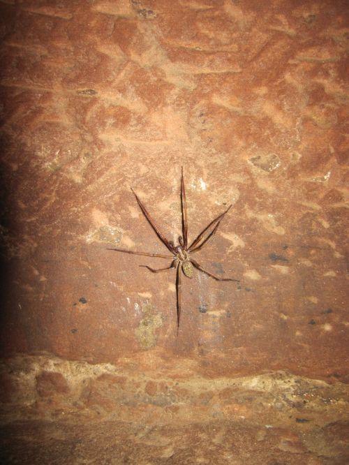 wolf spider brown spider