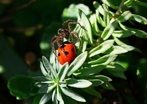 wolf spider ladybird pardosa amentata