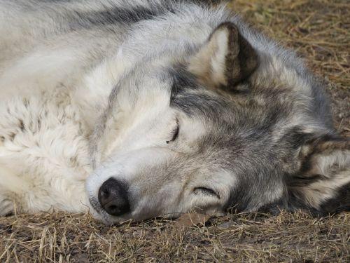 wolfdog wolf dog