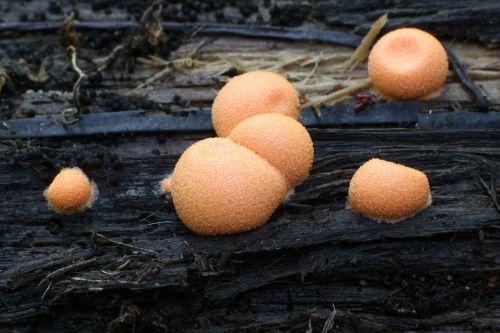 wolf's milk mushrooms groening's slime