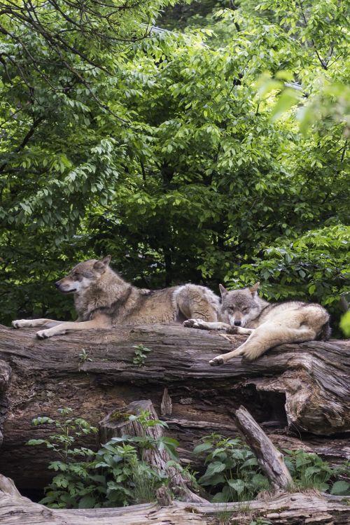wolves wolf european wolf