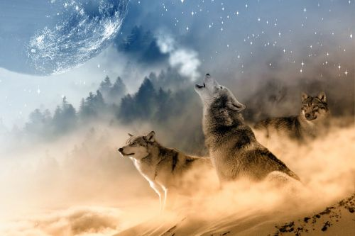 wolves wolf howling