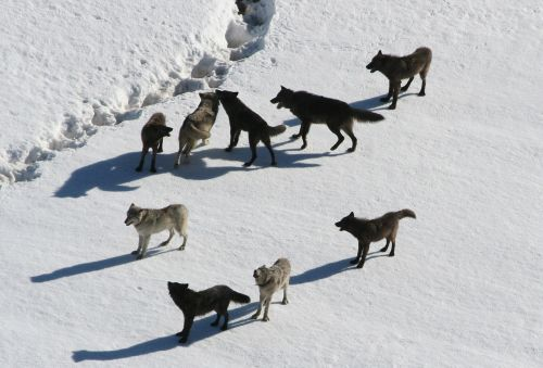 wolves wolf pack canis lupus