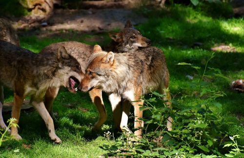 wolves wild animals forest