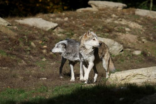 wolves timber wolves canada