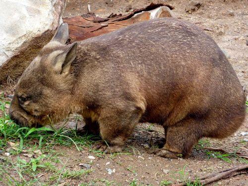 wombat australia wildlife