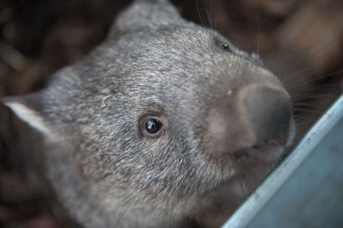 wombats tasmania marsupial