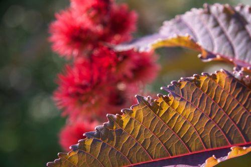 wonder tree ricinus communis family of euphorbiaceae