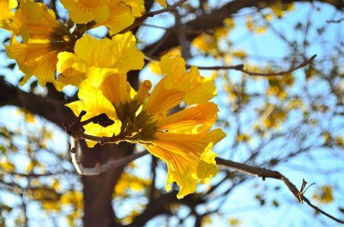 wong feng 鈴 wood flower yellow