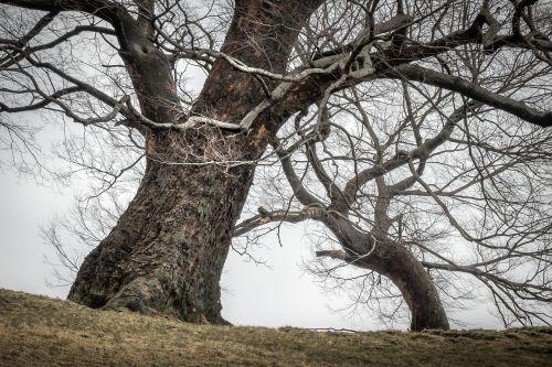 mediena,augalai,gamta,kreivė,šakelė,žiema