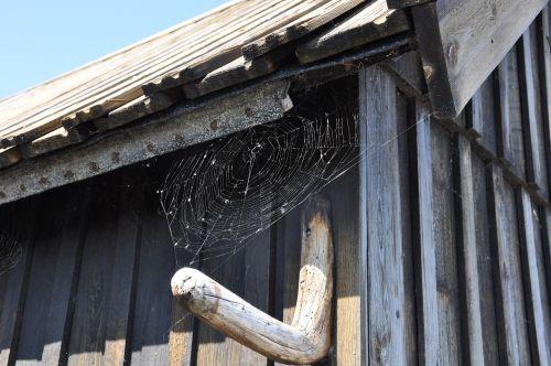 wood shed spider