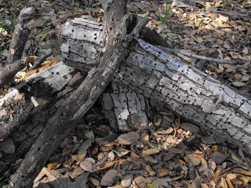 mediena,sausas,supuvusi,natūralus,dzenis,vabzdys,puvimas,miškas,ekologija,aplinka