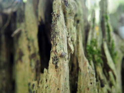 mediena,miškas,žurnalas,gamta,ištemptas,negyvas medis,natūralus medis būgnas,senas,medis,struktūra,fonas,sraigė