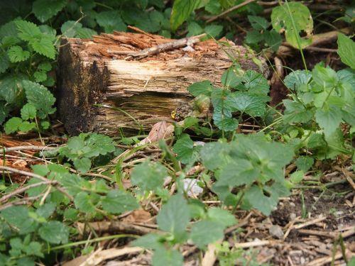 wood tree stump log