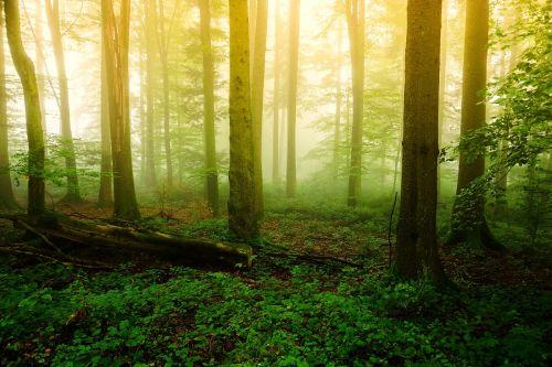 wood nature fog