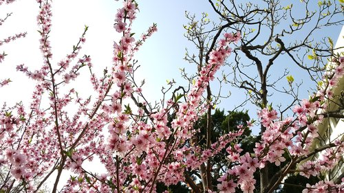 wood  quarter  cherry tree